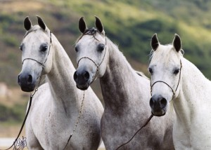 SF Moon Maiden (far right) with her daughters Moon Storm MH and Kachina MH, by El Halimaar.